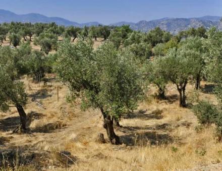 olive-orchards-threat-mediterranean-soil_257
