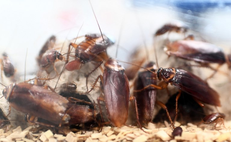 A picture taken on March 29, 2018 shows cockroaches locked in a container at the laboratory of the centre of research on infectious diseases of the University Hospital Institute (IHU) Mediterranean Infection, in Marseille. Marseille has inaugurated a research centre on infectious diseases, complete with insect breeding, a bacteria bank and hospital rooms for highly infectious patients. This project, launched in 2011, required 100 million euros of investment and aims at fighting infectious diseases, the leading cause of death in the world, killing 17 million people per year. / AFP PHOTO / ANNE-CHRISTINE POUJOULAT