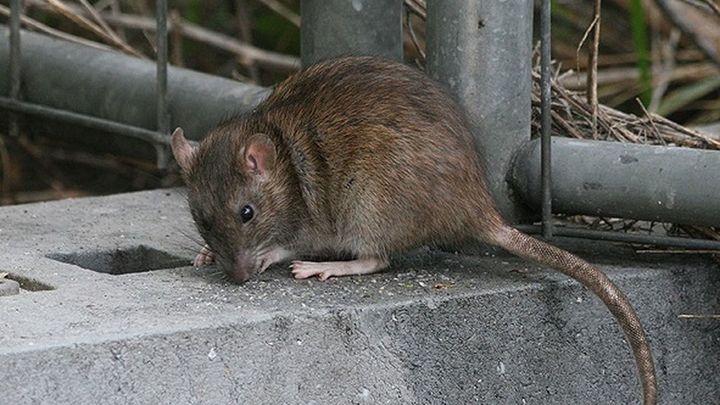 Rats San Fernando De Henares